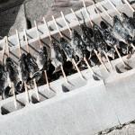 魚のつかみどりをして、その魚を焼いてもらって焼きたてをかぶりつけるっ!