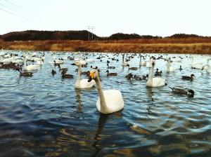 沼部の白鳥
