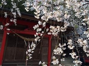 これは平成26年の小川諏訪神社のシダレザクラ。 ここすごく好き♪