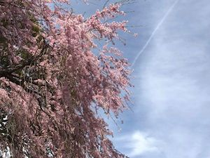 12日(水)の昼下がり。三島八幡神社のシダレザクラの様子を見て来ました^^