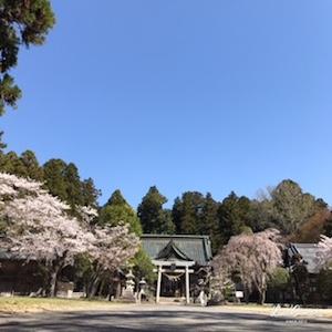 約1ヶ月ぶりに小高神社へ。先月は梅の時期。今回は満開の桜に出会えました。
