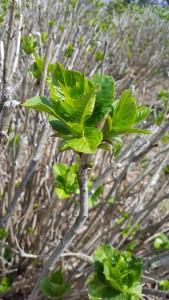 紫陽花 新芽