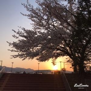 駐車場から見えた夕日と満開の桜。カメラを構える方もいました。