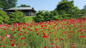 おまけ🎵高野花見山🎵 久しぶりに行ったら、春とは景色がガラッと変わっていました✨こちらは先週の様子です。ポピーが満開🌼