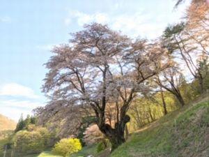 5月4日の午後、三和町新田の大山桜を見てきました。散り始めの桜吹雪!来年は午前中に来なきゃ!