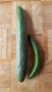 じいちゃん農園(家庭菜園)のラストきゅうり。 右は通常のもの。 左がおばけきゅうり!! 実は初めて見ました(驚) スーパーには絶対並ぶことはないであろうこのおばけきゅうり。 農家さんや家庭菜園をやっている方の中ではあるあるなんですってね~♪ じいちゃん農園も、きゅうりが終わり、今度は白菜の芽が育ってきています。