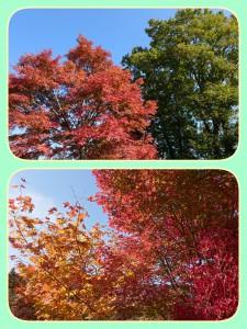 赤やオレンジの紅葉もきれいですが、赤に緑もキレイでした🍂 青空のバックが美しい~(*´▽`*)