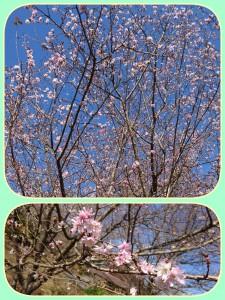 これは今年の春の景色・・・。ではありません!!  十月桜。まさに今咲いている桜です🌸