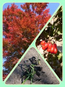 真っ赤な紅葉の他に、サンシュユのかわいらしい実。 そして視線を下に落とすとかたーいコンクリートからにょきっと出てきた雑草!固い雑草かと思いきや、ふにゃふにゃの雑草。固い天井もつきやぶる!踏まれても負けずに生きる!頑張れ!雑草!!