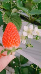 あまーいあまーい苺だよーん🍓 ハウスの中は蜜蜂が飛んで花粉運び( 〃▽〃) お仕事頑張れ~(о´∀`о)