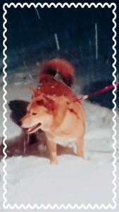 🐶おまけ🐶 雪が降り積もる中、ワッフワッフと雪の中を駆け回るマリ🐶 なんだか、顔が野生化しているような。。。女の子なのに。。。( ̄▽ ̄;) 雪を投げるとモシャモシャモシャっと食べる(笑)キレイな雪を食べたくなるのは人間も犬も同じ?!(笑)