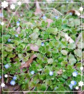小さい春みーつけた(о´∀`о) オオイヌノフグリ。 ちっちゃくてかわいい! 春がすぐそこまで来ています🌸
