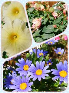 初登場✨ 私のプランターのお花たち🌻 ペチュニア、ブルーデージー、、、ピンクのお花の名前が思い出せません(汗) プランターに植え替えただけでやった気になる初心者ですが、引き続き頑張ります!