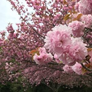 14日は茨城県桜川市へ。とびベティのお二人とともに!牡丹桜が満開でした^^