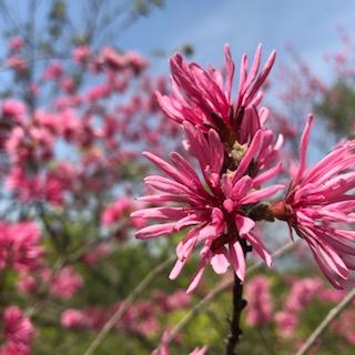 確か桃の花です。花桃の一種です。名前は・・・聞かないでw