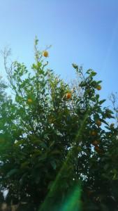 こういう絵(写真)もとても好きです。 これは夏ミカン・・・かな?エネルギーを感じますね。 植物の橘もこんな実をつけるのです。もっと小さいですが。親近感♡