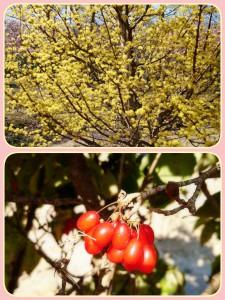サンシュユの木。上が先日の春のサンシュユ。 下が、去年の秋。実をつけたサンシュユ。 季節によっていろんな表情を見せてくれる植物たち・・・(*^-^*)