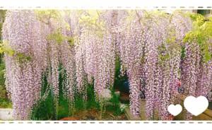 実家の藤の花が今年も満開になりました。 本当に見事なんです✨
