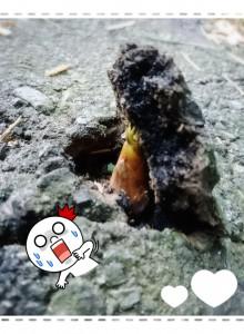 近所を歩いていると、コンクリートを突き破って伸びてくるタケノコを発見!!これ一個じゃないんです❣!見渡すとあっちにもこっちにも・・・Σ( ̄□ ̄||) すごい力!!!