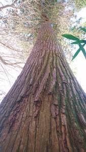 大きな大きな龍燈杉。 ずっとここでいわきの歴史を見守ってきてくれたんですね。 この日3人で伺いました。木の周りに両手を広げて抱きつきましたが、大人3人手を広げても足りないぐらいとーーっても大きな杉の木でした。