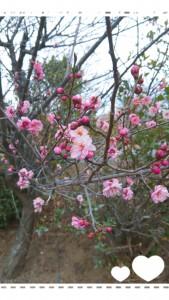 梅が咲きました!! 春、みぃーっけ!!