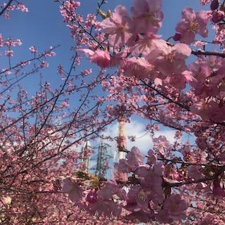 始めて火力の河津桜を見たのは何年前? ずいぶん木が大きくなりました! 青空に濃いピンクの花がよく映えて・・・ この桜も8年前は津波をかぶったんですよね。