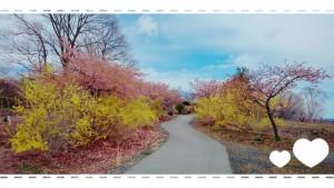 高野花見山。 毎年恒例のとびベティのCMも流れ始めました♪ 桜はこれからどんどん花開いていくでしょう♪早咲きの桜はもう咲いています🌸 桜。ゆ~っくり楽しみたいなぁ🌸
