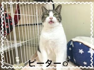 LYSTAで保護されているピーター君♂ 推定5歳以上の猫ちゃんです。