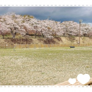 いわきの里鬼ヶ城のドッグランに行って来ました🐶鬼ヶ城は桜が散りはじめ。それでもほぼ満開の桜がいっぱいでした🌸 ドッグランはこれぐらいのがもう一つあって、かなり広かったです‼️
