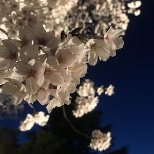 夜桜見物その1