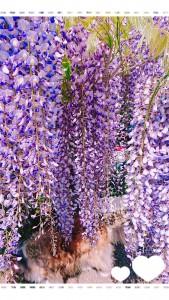 花が咲いている部分、去年はざっくり50センチ以上と言ったんですが、今年は測ってみました。すると、なんとほとんどの花が1mもありました‼️ 見事な藤の花。見頃もそろそろピークを越えました。夏がきますね。