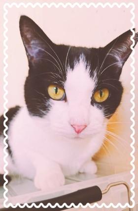 こちらは里親募集中の猫『はっちゃん』❣きれい好きの女の子ですよ~♡保護猫サロンOhanaにいます。 気になった方はリスタ07020283838まで❣