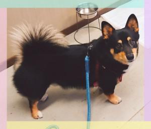 小名浜のサスケ君🐶 ママはコーギー×パパが黒い柴犬のMIX犬。 手足が短いのがチャームポイント♡