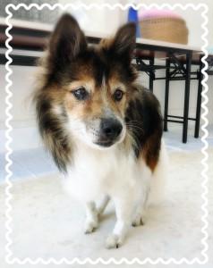 里親募集中のワンちゃん。シェルティ系MIX犬の『よしおさん』🐶 優しい性格のシニア犬です。 余生を穏やかに優しく過ごさせてくれるご家族を待っています。 気になった方はリスタのサロンOhanaに会いに行くか、070-2028-3838まで✨