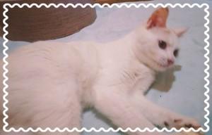 6月26日放送分 甘えん坊の猫『ふりる』ちゃん♡ 白い猫ちゃんですが、うっすらと三毛猫模様があるねこちゃんです。 気になった方は、リスタのサロンOhanaに会いに行くか、 070-2028-3838まで✨