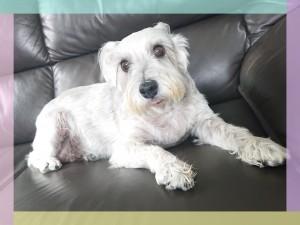 シュナウザーのシェリーちゃん。もう高齢のおばあちゃん犬だけど、優しいご家族の元、病気と闘いながらゆっくりとおだやかに暮らしています。