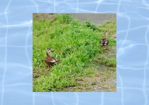 土手を散歩中に鴨のペアと遭遇。この鴨はいつもはこの近くの川でスイースイーと泳いで?いるのです。 水の中の方が涼しいのに、と思いながら静かに横を通過。逃げない・・・・・( ̄▽ ̄)