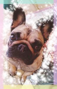コチラはおまけ♡ 先代犬の「りぼんちゃん🎀」 ふくちゃんとのご縁はりぼんちゃんが繋いでくれました。