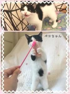 メスの仔猫ペコちゃん♀ 遊ぶの・食べるの大好き♡ 健康状態も良好です!