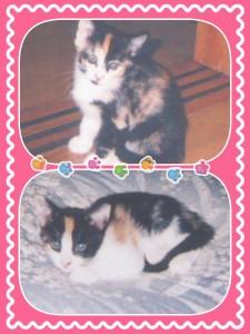 三毛猫姉妹。 こちらはどちらも女の子。 比較的おだやかな性格です❢