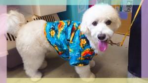 小名浜のレオ君♂ 真っ白でぷくぷくしていてとってもかわいいワンちゃん♡ アロハシャツが良く似合っています♪