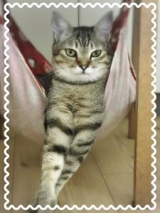 クールな決め顔に見えて、実はなでなでされるのが大好きな甘えん坊♡ 大きな体で、人当たりも猫当たりも抜群のナイスガイ✨