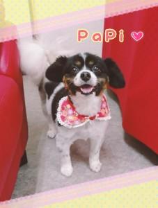 平窪のパピちゃん♡ ちょっと大きめのパピヨンの女の子❢ 本当、やさしいお顔のまんま、優しい性格をしています(*^-^*)