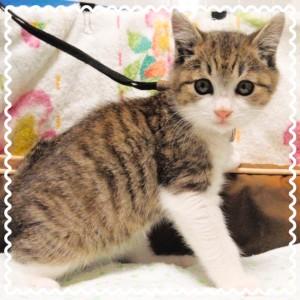生後およそ3~4ヶ月ぐらいのキジトラの女の子♀ 長くまっすぐなしっぽです。 人懐っこく活発な性格をしているにゃ♪