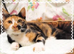 生後およそ6ヶ月から7ヶ月ぐらいの三毛猫の女の子♀ 長くまっすぐなしっぽです。 人懐っこく活発な性格で、さらに甘えん坊でやきもち焼きの猫ちゃんですにゃ♪