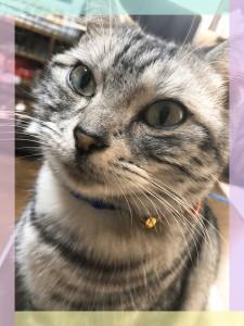 美人猫モモちゃんはママが帰ってくると鈴を鳴らしてお迎えに行きます(⋈◍>◡<◍)。✧♡