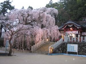小川諏訪神社のシダレザクラ。満開!ってじつはこれ、2006年4月13日に撮影したものです(汗)