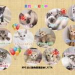 他にもたくさんの仔猫たちが家族を探しています。