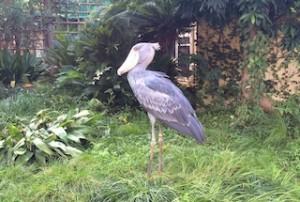 私が動物園で見たいのはコレ!大好き♪ハシビロコウさん。(私が撮影したものではなく、「Photo AC」さんからお借りした画像です!fujikiseki1606さんによる写真ACからの写真 )