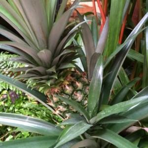 確かハワイのちょっとした植え込みにあったパイナップルさん